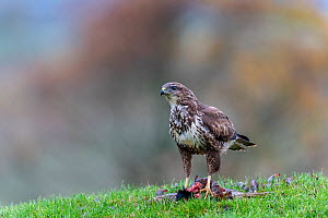 Common buzzard (Buteo buteo) feeding on ground, Castell-y-bwch, Newport, South Wales, UK. October.  -  David Pike