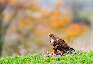 Common buzzard (Buteo buteo) feeding on ground, , Castell-y-bwch, Newport, South Wales, UK. October.  -  David Pike