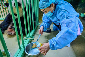 Keeper (Mrs. Mao Min) preparing high protein food mixed with Chinese herbs made from tea for the female Giant panda (Ailuropoda melanoleuca), Beauval ZooPark, France. 4 August 2021.  -  Eric Baccega