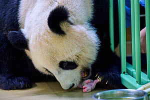 Giant panda (Ailuropoda melanoleuca) female, Huan Huan, taking her 4 days baby in mouth, Beauval ZooParc, France 5 August 2021.  -  Eric Baccega