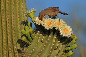 Curve-billed thrasher (Toxostoma curvirostre) feeding on nectar in Saguaro cactus (Carnegiea gigantea) blossom and the insects trapped in them, Sonoran Desert, Arizona, USA.  -  John Cancalosi