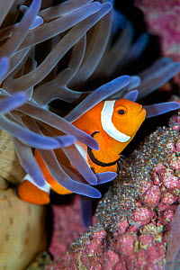 Clownfish (Amphiprion ocellaris) guarding a clutch of eggs beneath a magnificent sea anemone (Heteractis magnifica). Anilao, Batangas marine protected area, Luzon, Philippines. Verde Island Passages,...  -  Alex Mustard