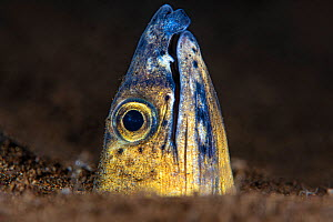 Portrait of a Black saddle snake eel (Ophichthus cephalozona) emerging from the sand at night. Dauin, Dauin Marine Protected Area, Dumaguete, Negros, Philippines. Bohol Sea, tropical west Pacific Ocea...  -  Alex Mustard