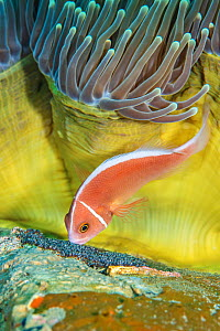 Pink anemonefish (Amphiprion perideraion) cares for its eggs beneath a magnificent sea anemone (Heteractis magnifica) on a coral reef. Dauin, Dauin Marine Protected Area, Dumaguete, Negros, Philippine...  -  Alex Mustard
