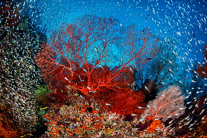Red sea fan (Melithaea sp.) is surrounded by Glassfish ( Apogon sp.) on a coral reef. Daram Islands, Misool, Raja Ampat, West Papua, Indonesia. Ceram Sea. Tropical West Pacific Ocean.  -  Alex Mustard