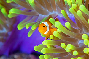 False clown anemonefish (Amphiprion ocellaris) looking out of a magnificent sea anemone (Heteractis magnifica) on a coral reef. Raja Ampat, West Papua, Indonesia. Tropical West Pacific Ocean.  -  Alex Mustard