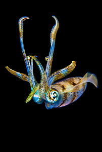 Portrait of a Bigfin reef squid (Sepioteuthis lessoniana) at night above a coral reef. Gam Island, Raja Ampat, West Papua, Indonesia. Dampier Strait, Tropical West Pacific Ocean.  -  Alex Mustard