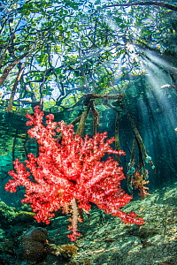 Red soft coral (Dendronephthya sp.) grows on mangrove roots beneath the forest. Nampale Islands, Misool, Raja Ampat, West Papua, Indonesia. Tropical West Pacific Ocean.  -  Alex Mustard