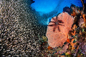 School of glassfish (Apogon sp.) throng next to a sea fan (Annella sp.) with a crinoid on a coral reef. Misool, Raja Ampat, West Papua, Indonesia. Ceram Sea. Tropical West Pacific Ocean.  -  Alex Mustard