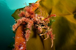 Great spider crab (Hyas araneus) covered in algae, climbing up onto a frond of kelp (Laminaria hyperborea). Lochcarron, Ross-shire, Ross and Cromarty, Highlands, Scotland, United Kingdom. British Isle...  -  Alex Mustard