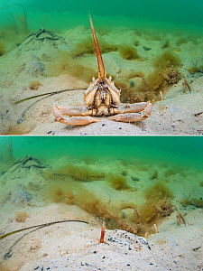 Two photos of a masked crab (Corystes cassivelaunus) - sitting on a sandy seabed and buried within the sand, where it uses its antennae as a snorkel. in Studland Bay, Dorset, England. British Isles. E...  -  Alex Mustard