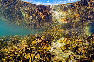 Serrated wrack (Fucus serratus) reflected in the surface as it grows in a rockpool. Looe, Cornwall, England, United Kingdom. British Isles. English Channel, North East Atlantic.  -  Alex Mustard