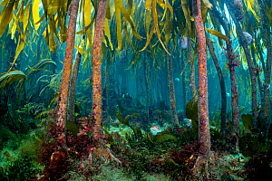 Forest of tall stipes and holdfasts of Cuvie kelp (Laminaria hyperborea) with grazing common sea urchins (Echinus esculentus). Farne Islands, Northumberland, England, United Kingdom. British Isles. No...  -  Alex Mustard