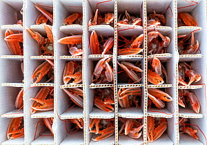 Catch of Norway lobster / Langoustine ( Nephrops norvegicus) packed into individual containers, photographed on a fishing boat. Kinlochbervie, Sutherland, The Highlands, Scotland, United Kingdom. Loch...  -  Alex Mustard