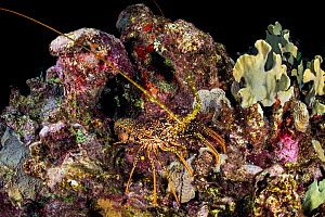 Spotted spiny lobster (Panulirus guttatus) crawling over a coral reef at night. East End, Grand Cayman, Cayman Islands, British West Indies. Caribbean Sea.  -  Alex Mustard