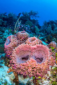 Group of young Giant barrel sponges (Xestospongia muta) growing on the wall of a coral reef, with creole wrasse (Clepticus parrae). East End, Grand Cayman, Cayman Islands, British West Indies. Caribbe...  -  Alex Mustard