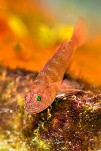 Rusty goby (Priolepis hipoliti) hiding in an overhang of a coral reef. West Bay, Grand Cayman, Cayman Islands, British West Indies. Caribbean Sea.  -  Alex Mustard
