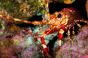 Red banded lobster (Justitia longimanus) sheltering in a crevice in a coral reef. East End, Grand Cayman, Cayman Islands, British West Indies. Caribbean Sea.  -  Alex Mustard