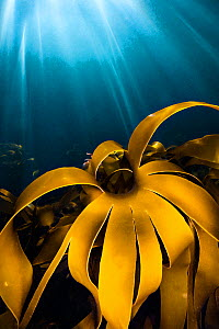 Detail of Golden kelp (Laminaria ochroleuca) with sun beams. Lundy Island, Devon, England, British Isles. Bristol Channel. North East Altantic Ocean. This species is only found in South West England  -  Alex Mustard