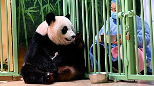 Keeper (Mrs Mao Min) distracting Giant panda (Ailuropoda melanoleuca) Huan Huan, with food in order to retrieve her female baby (the smaller of female twins) for medical examination, Beauval Zoo, Fran...  -  Eric Baccega
