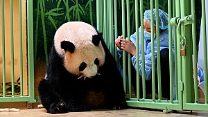 Keeper (Mrs Mao Min) helping Giant panda (Ailuropoda melanoleuca) Huan Huan, to nurse her female baby (the smaller of 2 female twins), Beauval Zoo, France. 6 August 2021.  -  Eric Baccega