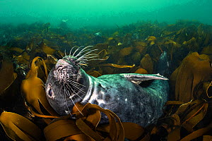 RF - Grey seal (Halichoerus grypus) relaxing in a bed of kelp (Laminaria digitata), with two seals in the background. Farne Islands, Northumberland, England, United Kingdom. British Isles. North Sea....  -  Alex Mustard