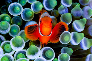 RF - Portrait of Spinecheek anemonefish (Premnas biaculeatus) in its host Bubble-tip anemone (Entacmaea quadricolor) on a coral reef. Raja Ampat, West Papua, Indonesia. Ceram Sea. (This image may be l...  -  Alex Mustard