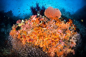 RF - Colourful coral reef, a school of Glassfish ( Apogon spp.) surround a coral head with sponges, soft corals, sea fans and sea squirts. Raja Ampat, West Papua, Indonesia. Ceram Sea. (This image may...  -  Alex Mustard