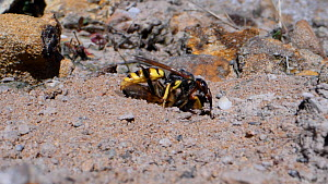 Female Bee wolf (Philanthus triangulum) landing with a paralysed Honey bee (Apis mellifera) before entering her burrow in a bare sandy patch of heathland, Dorset, UK, July.  -  Nick Upton