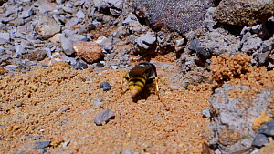 Female Bee wolf (Philanthus triangulum) landing near her nest burrow in a bare sandy patch of heathland and digs her way in, Dorset, UK, July.  -  Nick Upton