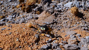 Female Bee wolf (Philanthus triangulum) chasing a rival female Bee wolf from the entrance to her burrow in a bare sandy patch of heathland and goes back in, Dorset, UK, July.  -  Nick Upton