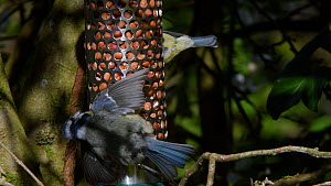 Two Blue tits (Parus caeruleus) feeding at birdfeeder when one shows a threat display to the other when it comes too close, followed by both birds leaving, Wiltshire, UK, April.  -  Nick Upton