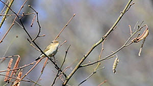 Chiffchaff (Phylloscopus collybita) singing while perched in a Hazel tree (Corylus avellana) with catkins and leaf buds in woodland, Wiltshire, UK, March.  -  Nick Upton