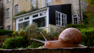 Garden snail (Cornu aspersum / Helix aspersa) crawling over an oak sleeper retaining a garden lawn with a house in the background with its beating heart visible through the shell, Wiltshire, UK, April...  -  Nick Upton