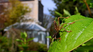 Green shield bug / Green stink bug (Palomena prasina) sunning on a Honeysuckle leaf in a garden with buildings in the background, Wiltshire, UK, April.  -  Nick Upton
