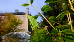 Green shield bug / Green stink bug (Palomena prasina) sunning on a Honeysuckle leaf in a garden with buildings in the background, head-on view, Wiltshire, UK, April.  -  Nick Upton