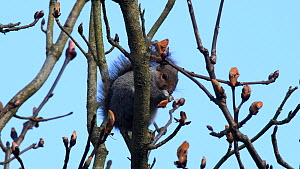 Grey squirrel (Sciurus carolinensis) feeding on a Horse chestnut (Aesculus hippocastanum) tree leaf bud in a garden before moving off, Wiltshire, UK, March.  -  Nick Upton