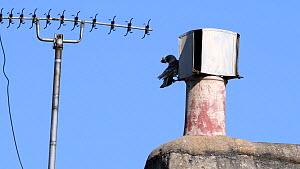 Jackdaw (Corvus monedula) pair flying to and entering a chimney through slits in a metal cowl with material in their beaks to build their nest with, Wiltshire, UK, March.  -  Nick Upton