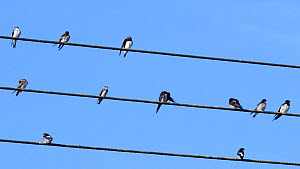 Sand martins (Riparia riparia), Swallows (Hirundo rustica) and House martins (Delichon urbicum) perched and preening on power lines, gathered ahead of their autumn migration, Gloucestershire, UK, Sept...  -  Nick Upton