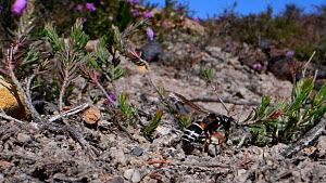 Female Purbeck mason wasp (Pseudepipona herrichii) excavating a nest burrow in a bare patch of sandy clay in heathland, repeatedly carrying away bits of soil in its jaws before flying off, Dorset, UK,...  -  Nick Upton