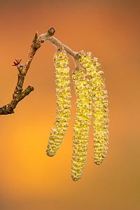 Close-up of hazel catkins (Corylus avellana) in spring, with both male catkins and female flower visible, Broxwater, Cornwall, UK. March .  -  Ross Hoddinott