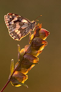 Marbled white butterfly (Melanargia galathea) perched on yellow rattle and bathed in late evening light, Volehouse Moor, Devon, UK. July .  -  Ross Hoddinott