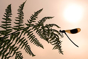 RF - Banded demoiselle (Calopteryx spendens) male resting on fern and silhouetted against the rising sun, Lower Tamar Lake, Cornwall, UK. June . (This image may be licensed either as rights managed or...  -  Ross Hoddinott