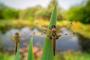 Four-spotted chaser (Libellula quadrimaculata) dragonflies resting on backlit reeds close to the water's edge, wide-angle perspective to show context/environment, Broxwater, Cornwall, UK. May .  -  Ross Hoddinott