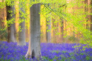 RF - Beech trees (Fagus sylvatica) and english bluebells (Hyacinthoides non-scripta). Late evening light and double exposure to create soft, dreamy effect. West Woods, nr Marlborough, Wiltshire, UK. M...  -  Ross Hoddinott