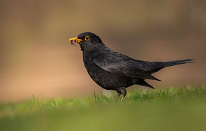 RF - Blackbird (Turdus merula) male looking for worms on a garden lawn. Broxwater, Cornwall, UK. April . (This image may be licensed either as rights managed or royalty free.)  -  Ross Hoddinott