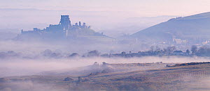 Corfe Castle - castle ruins and village - emerge from early morning mist, photographed from Kingston, Dorset, UK. April 2021.  -  Ross Hoddinott