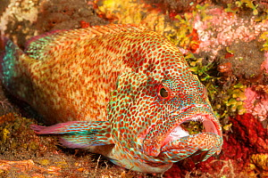 Coral grouper (Cephalopholis miniata) being cleaned by a Cleaner shrimp (Urocaridella antonbrunii) at a cleaning station, Bali, Indonesia.  -  David Fleetham