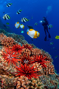 Coral reef with Slate pencil sea urchins (Heterocentrotus mammillatus), Pennantfish (Heniochus diphreutes) and Pyramid butterflyfish (Hemitaurichthys polylepis) and a diver holding a light, Hawaii. Mo...  -  David Fleetham