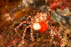 Pom-pom crab / Mosaic boxer crab (Lybia tesselata) carrying large egg mass and its associated Anemone (Triactis producta), used for defense. that it carries around in its claws, using them for defense...  -  David Fleetham